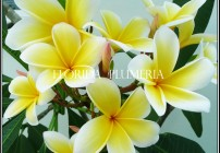 Plumeria Aztec Gold