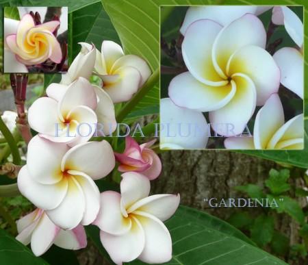 Plumeria Gardenia