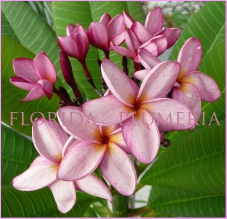 Plumeria Keiki Lavender