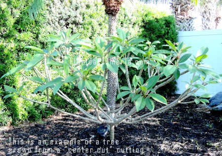 "Example of a tree that was grown from a ""center"" or ""base"" cut plumeria cutting"