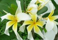 "Plumeria ""Ammaron's Curly White"""