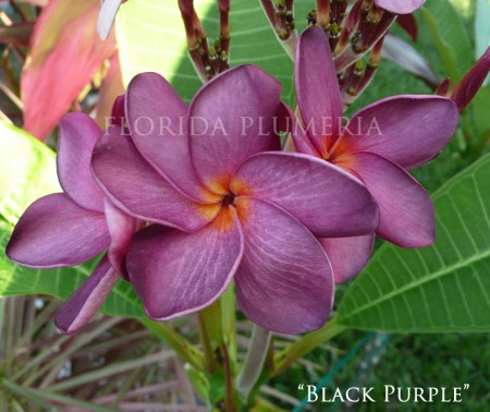 Plumeria Black Purple
