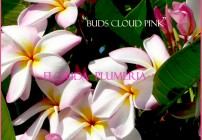 Buds Cloud Pink