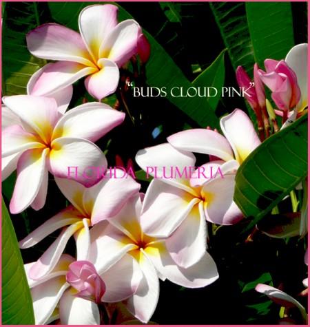 Buds Cloud Pink