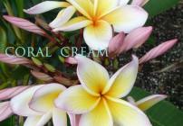 Coral Cream