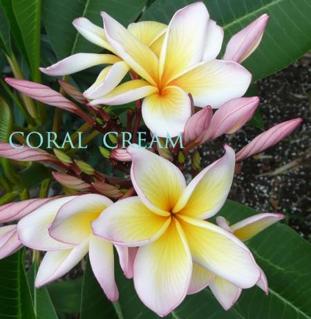 """Plumeria """"Coral Cream"""""""