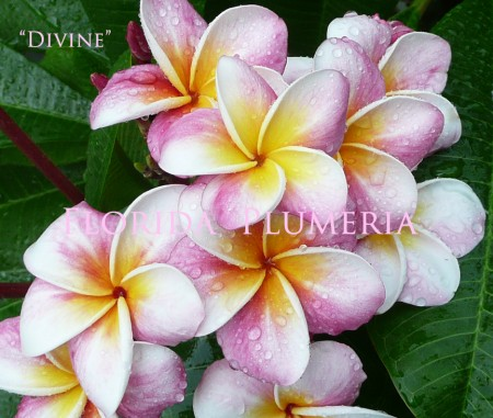 Plumeria Divine