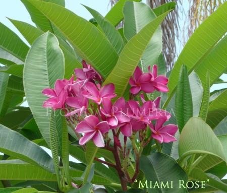 Plumeria Miami Rose