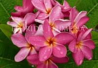 """Plumeria """"Margaret's Pink"""""""