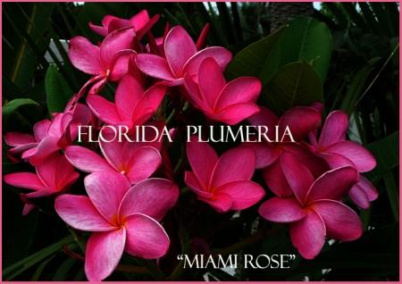 """Plumeria """"Miami Rose"""""""