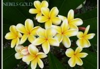 Plumeria Nebels Gold