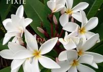 Plumeria Pixie