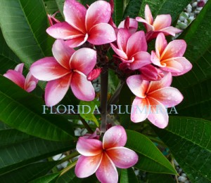 "Plumeria Photo ""Hurricane"""