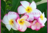 """Plumeria """"Rimfire"""""""