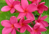 "Plumeria ""Rose Red"""