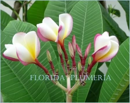"""Plumeria """"White Shell"""""""