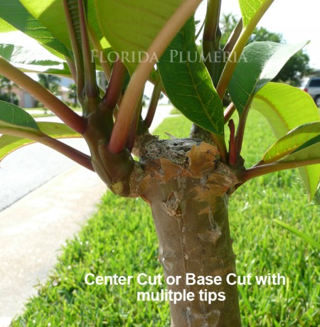 Center Cut Plumeria