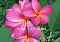 Plumeria Photo – Wildfire