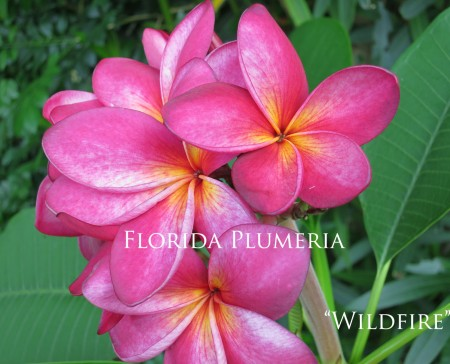 Plumeria Wildfire