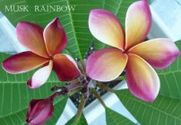 Plumeria Photo – Musk Rainbow