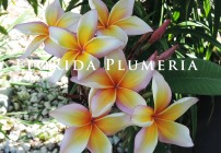 Plumeria Photo – Xanadu