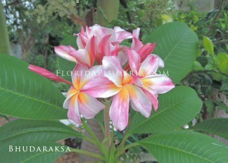 Plumeria Bhudaraksa